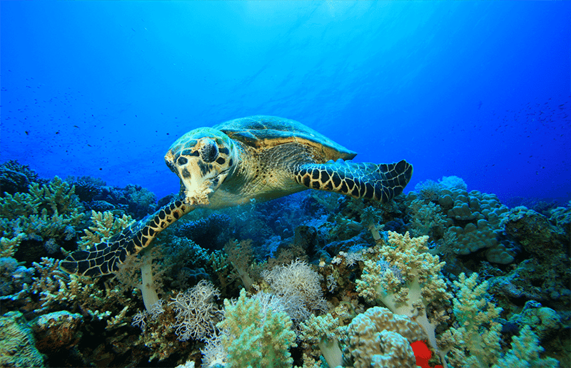 Tenggol Sea turtle | Amazing Dive