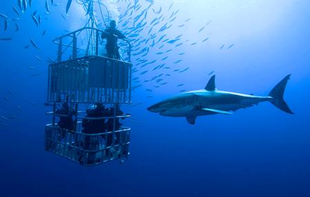 Shark diving   Amazing Dive