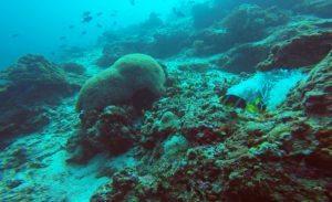 amazing-dive-maldives-clown-fish-nemo