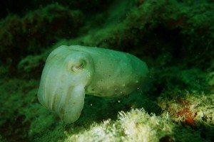 Dive Hantu Cuttlefish