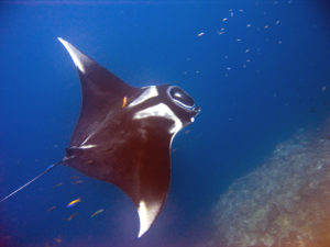 7 Odd Facts About Manta Rays