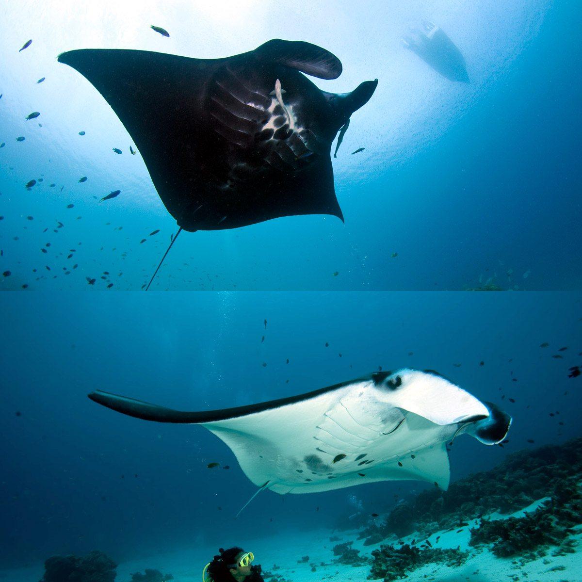 四王岛潜水manta