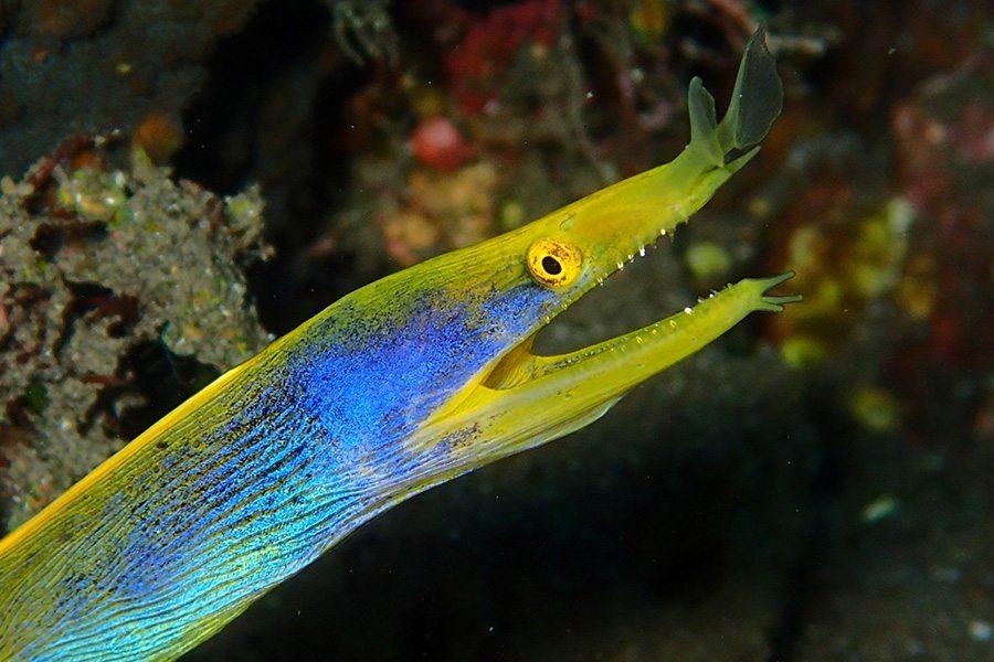 巴厘岛潜水彩带鳗