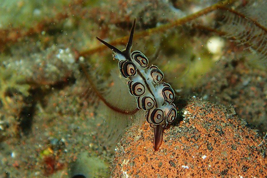 巴厘岛潜水甜甜圈海兔