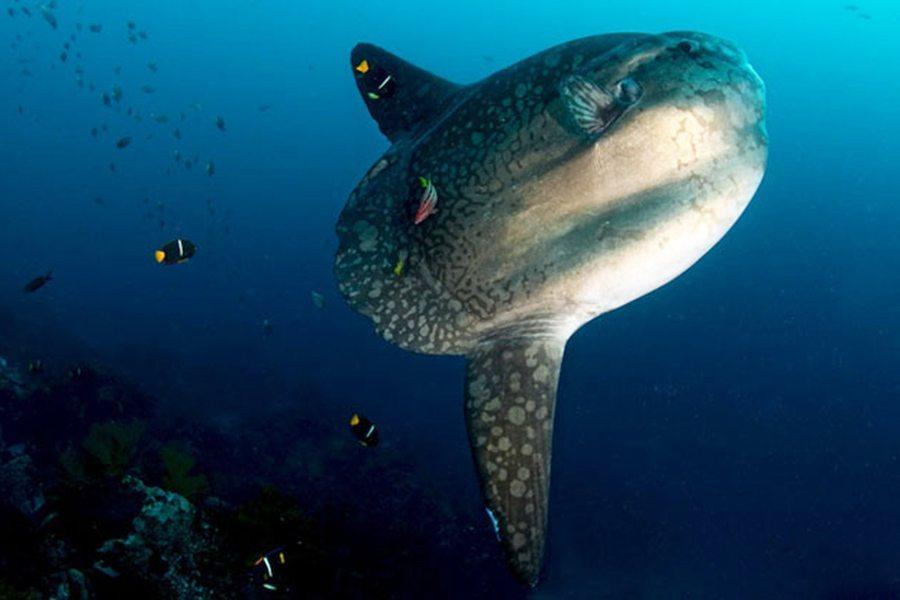巴厘岛潜水翻车鱼