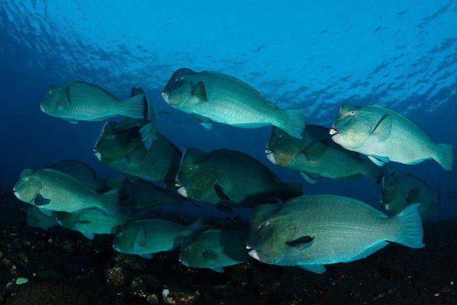 巴厘岛潜水隆头鹦哥
