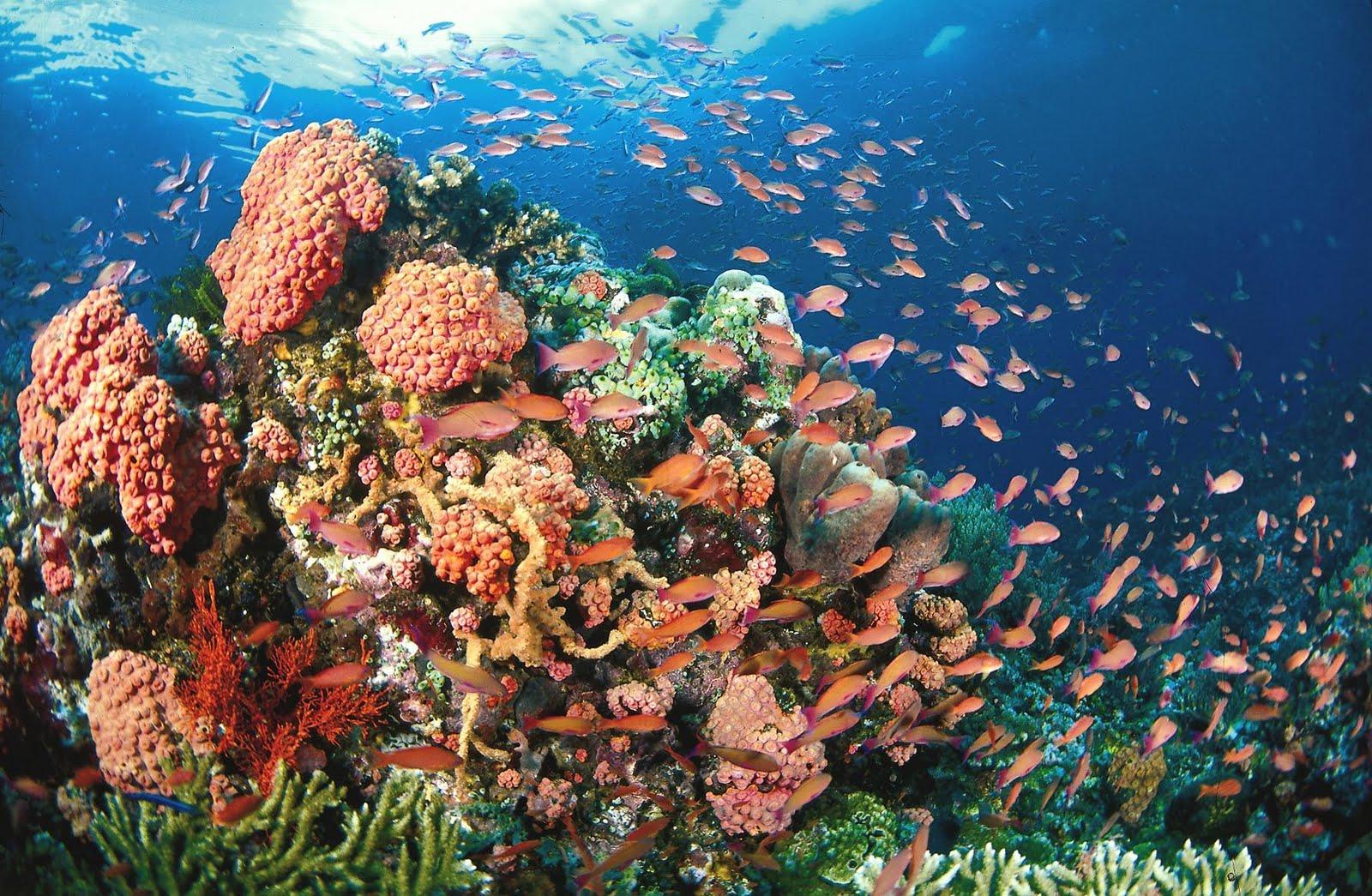 Corals Anilao Batangas Scuba Diving | Dive Travel Philippines