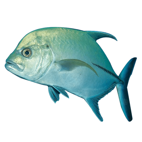 Featured-Jack-Fish