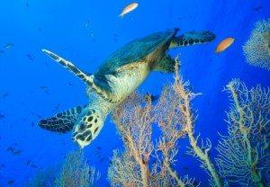 Redang Turtle