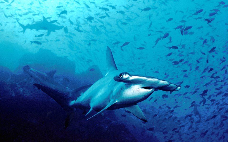 Hammerhead Shark | Anilao Philippines | Anilao | Philippines | Deep Blue Scuba | Scuba Trips