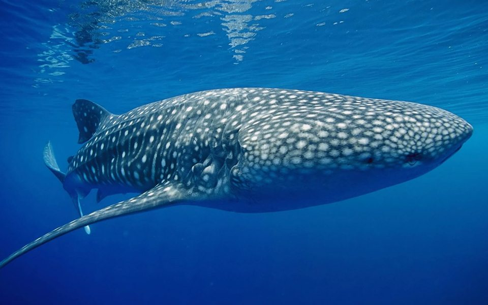 Whale Shark Similan | Whale Shark | Similan | Thailand | Similan Thailand | Scuba Trips | Deep Blue Scuba