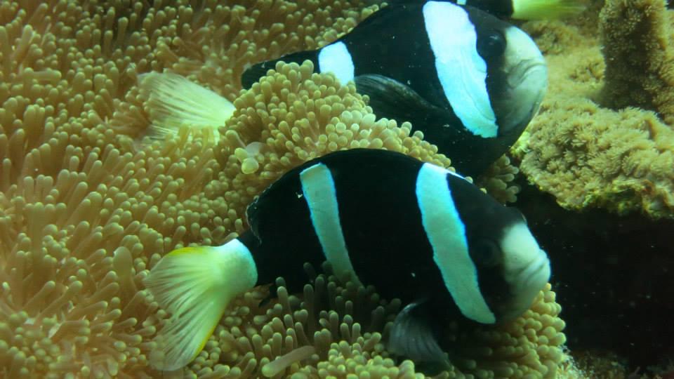 21.Clark's Anemonefish - Shaun Gilmour