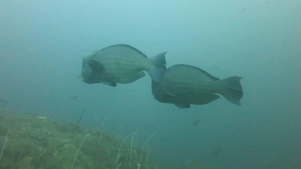 24.Bumphead Parrotfish - Shaun Gilmour
