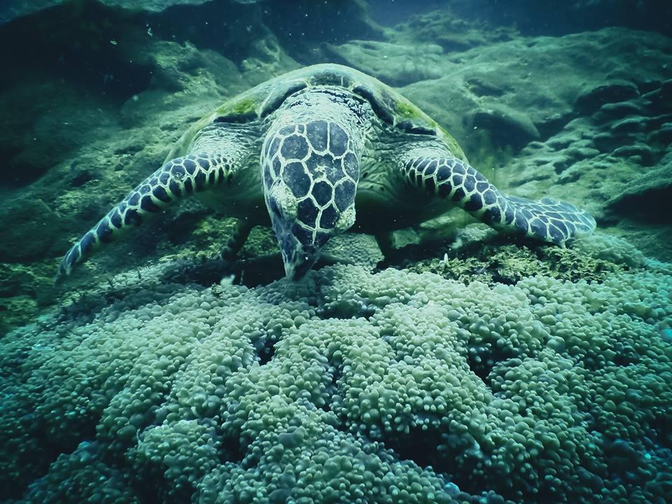 Tenggol Turtle