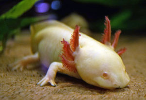 Axolotls: Dragons of the Freshwater