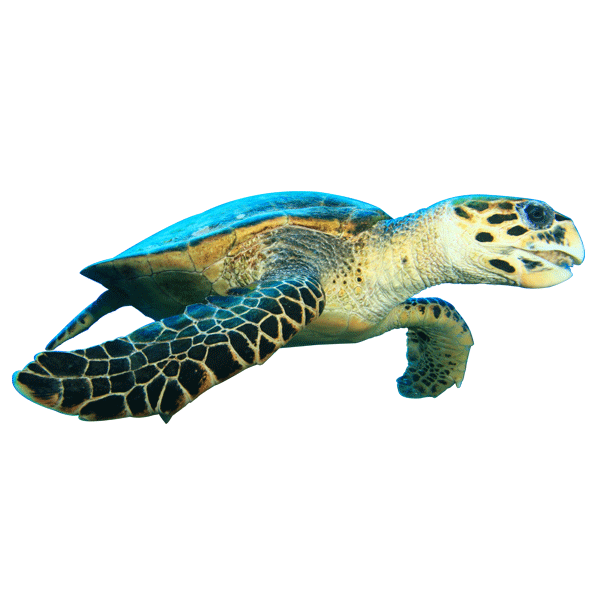 Tenggol Sea Turtle | Eko Divers