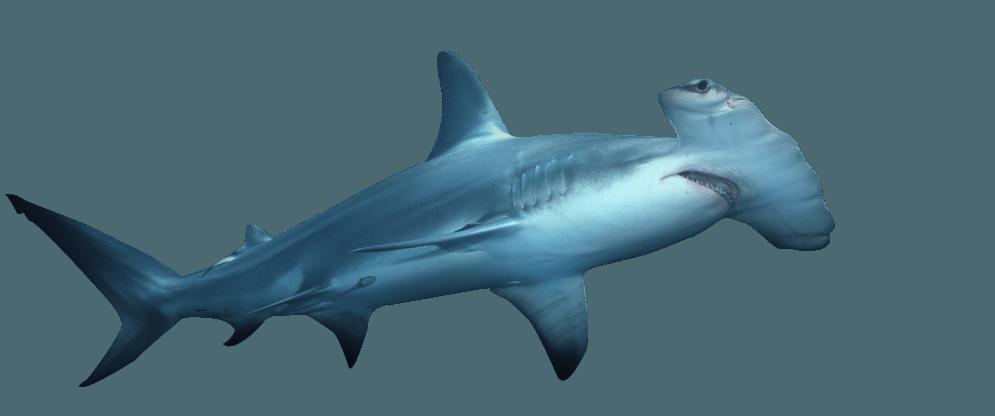 Hammerhead | Eko Diver