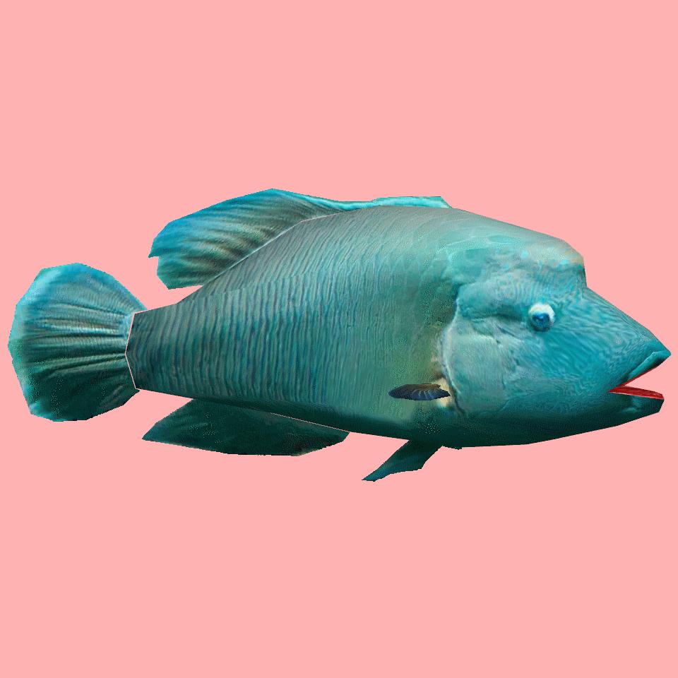 NapoleonFish | Eko Divers