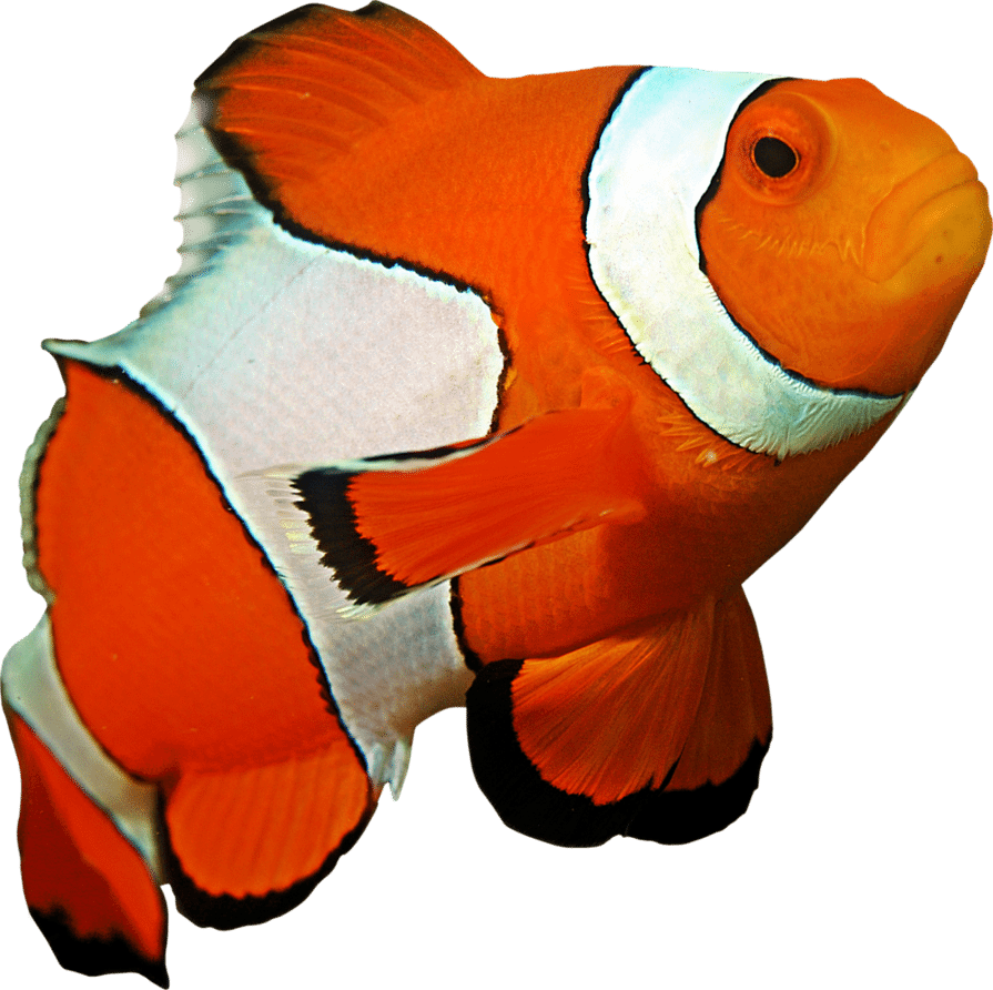 Clown Fish | Eko Divers