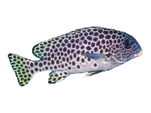 Andaman Sweetlips | Eko Divers