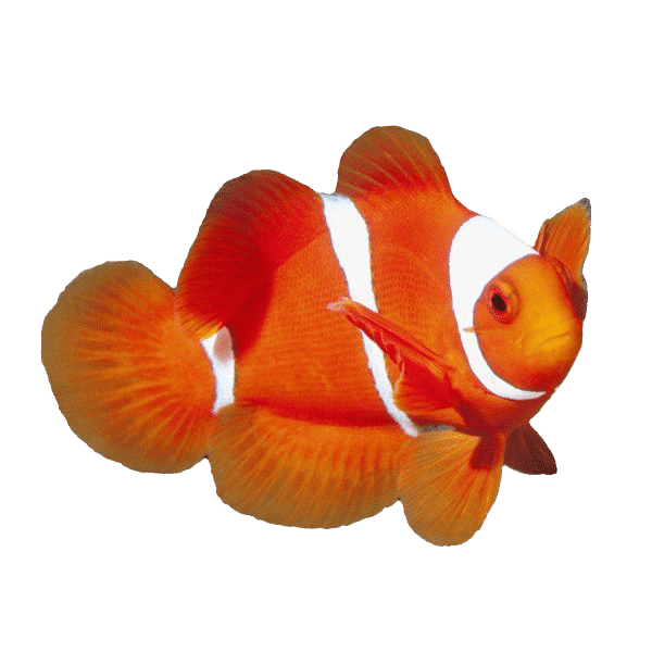 Clownfish | Eko Divers