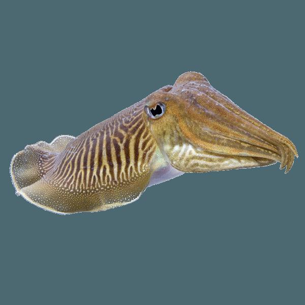 Cuttlefish Perhentian | Thailand Aquatic Fishes | Exotic Marine Life Of Thailand | Thailand Fish | Perhentian | Perhentian Marine Life | Rare Fish Thailand | Cuttlefish | Cuttle Fish | Fish | Rare Fish | Rare | Eko Divers