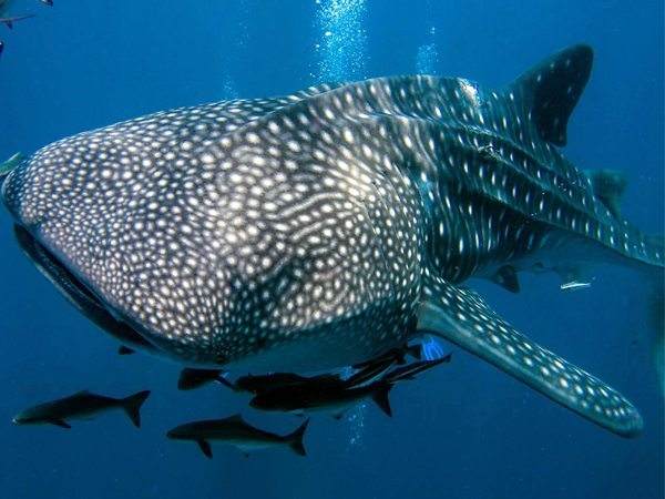 Donsol Whale Shark | Donsol Marine Life | Donsol Aquatic Fishes | Donsol | Donsol Diving Spots | Whale Shark | Shark | Whale | Donsol Aquatic Life | Eko Divers