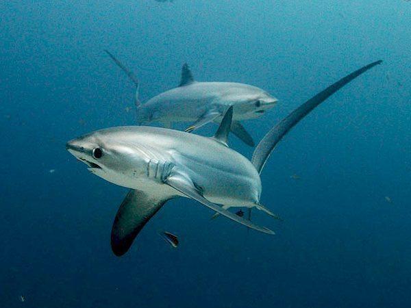 Monad Shoal   Philippine Shark   Philippine Marine Life   Philippine Diving Spots   Diving Activities   Monad Shoal Sharks   Eko Divers