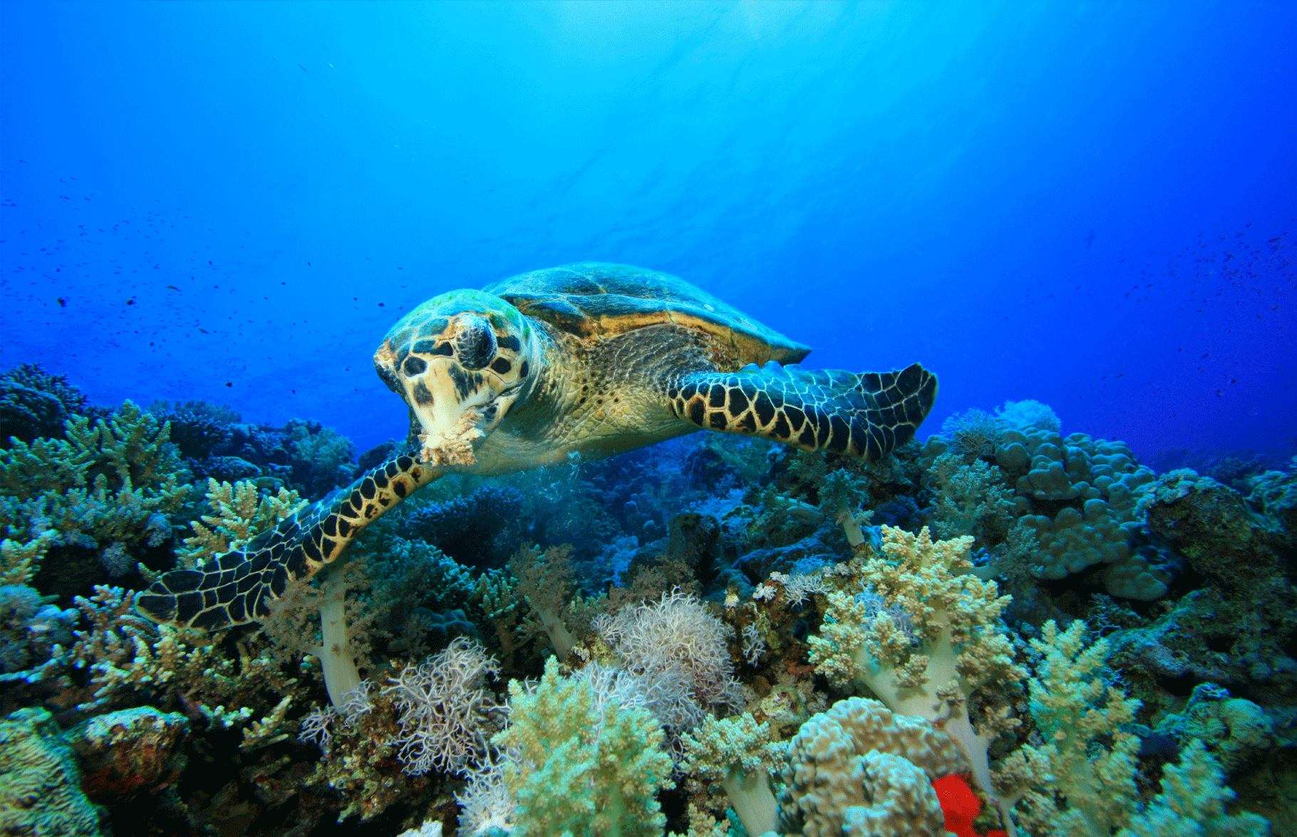 Sea Turtle Tenggol | Eko Divers