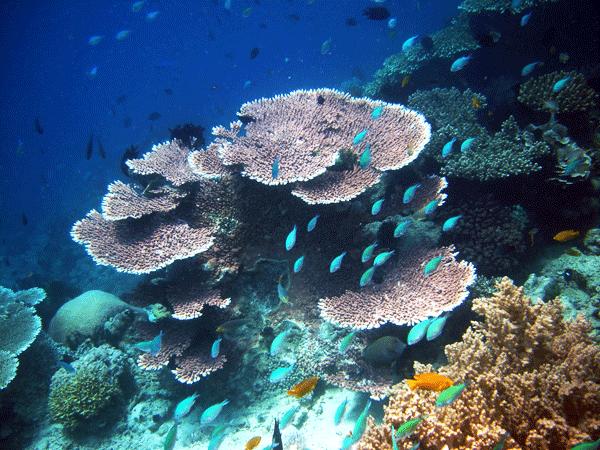Pulau | Pulau Sipadan | Pulau Sipadan Marine Life | Coral Sipadan | Sipadan Coral | Coral Garden | Marine Attractions | Marine Life | Sipadan Corals | Eko Divers