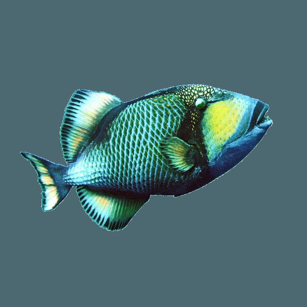 Layang Layang | Titan Triggerfish | Fish | Indonesia Marine Life | Layang Layang Marine Life | Indonesia Aquatic Fishes | Aquatic Fishes | Exotic Fish | Rare Fishes | Indonesia Rare Fishes | Layang Layang Marine Life | Eko Divers