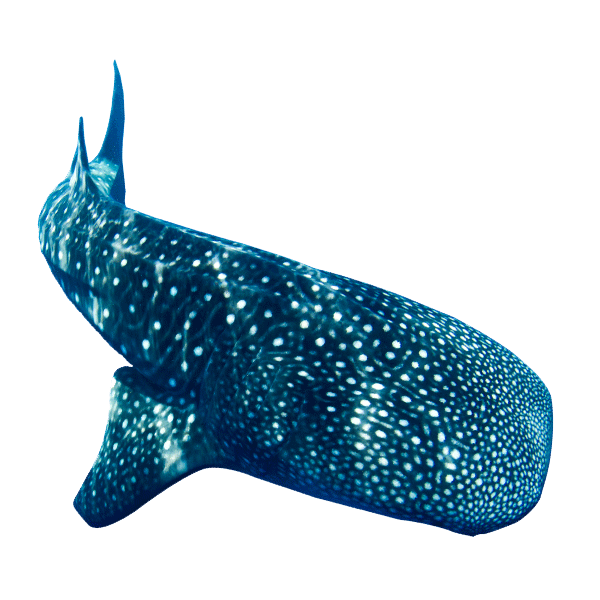Donsol Whale Shark | Donsol Marine Life Feature | Philippines | Marine Life | Whale Shark | Eko Divers