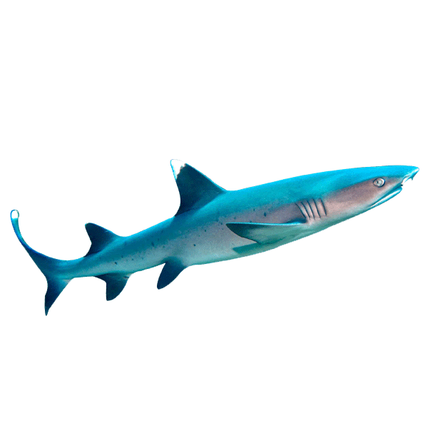 White Tip Reef Shark | Eko Divers