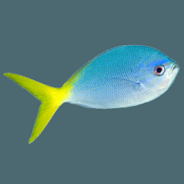 Tenggol Yellow Fusiliers | Eko Divers